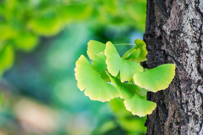 what is ginkgo biloba